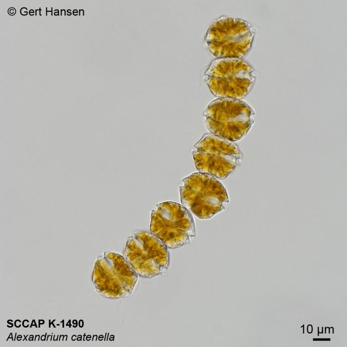 Alexandrium catenella