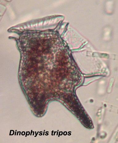 Dinophysis tripos