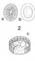 Prymnesium calathiferum