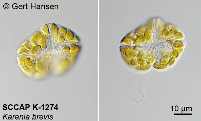 Karenia brevis