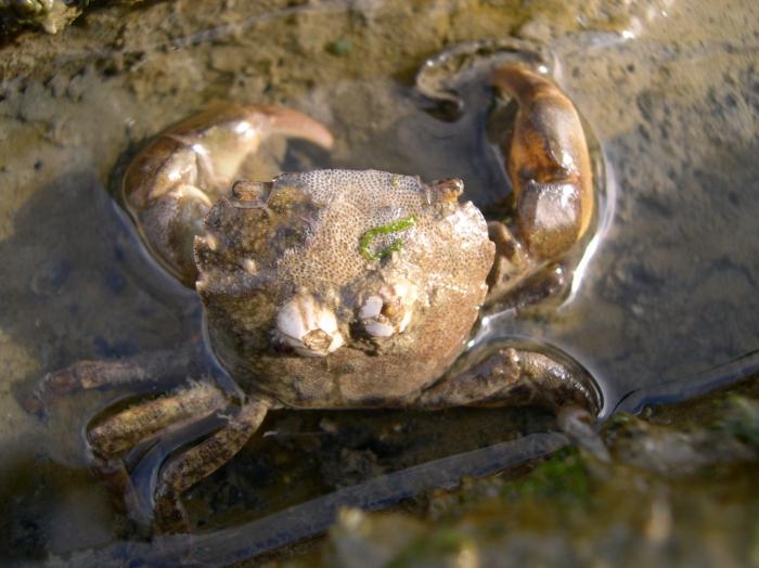 Hemigrapsus takanoi  - female