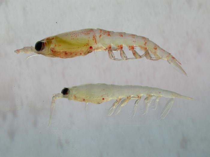 Thysanoessa - krill