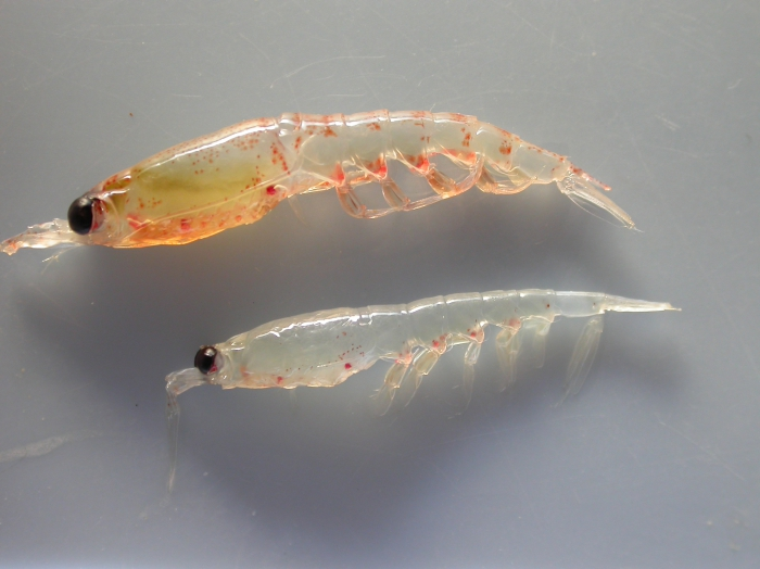 Thysanoessa - krill