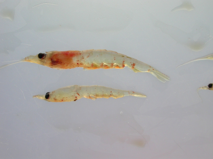Krill-pair