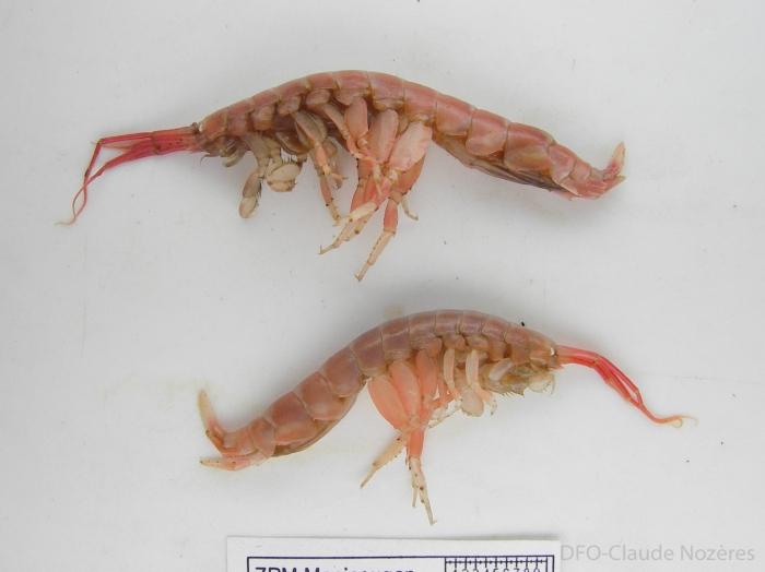 Ceradocus torelli - pair