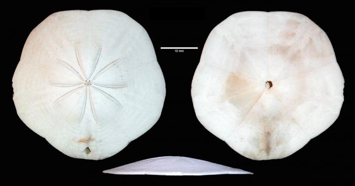 Arachnoides tenuis