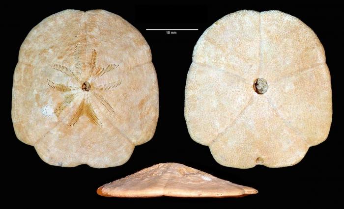 Monostychia australis