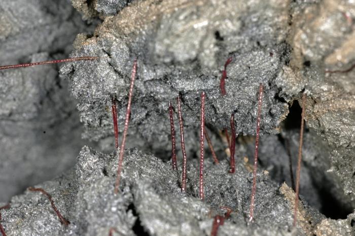 Rode draadworm