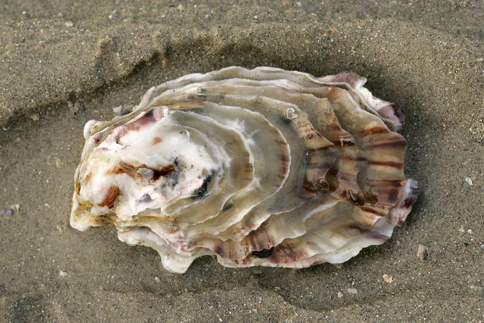Japanse oester