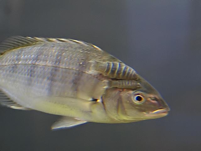 Anilocra capensis Leach, 1818 & Lithognathus aureti Smith, 1962