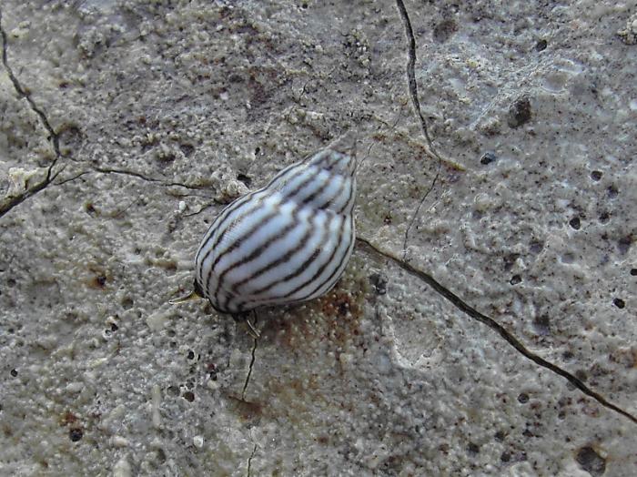 Echinolittorina ziczac (Gmelin, 1791)