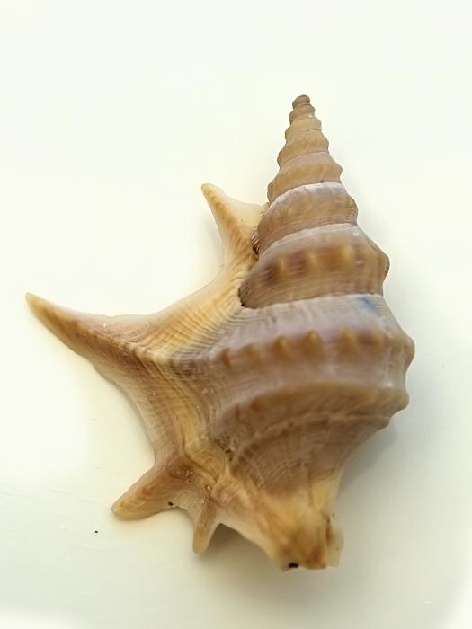 Aporrhais pespelecani (Linnaeus, 1758)