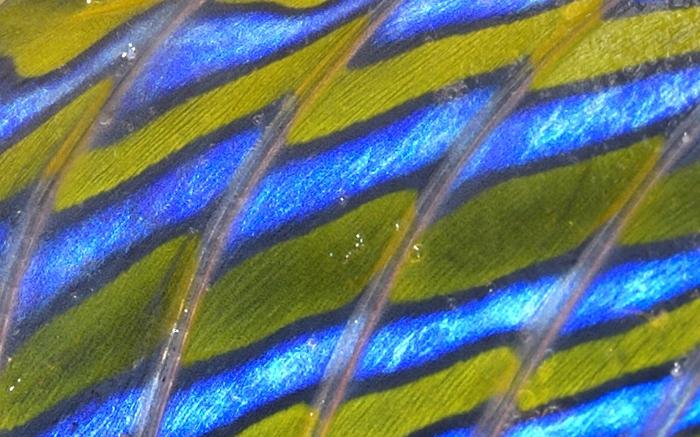 Callionymus lyra Linnaeus, 1758