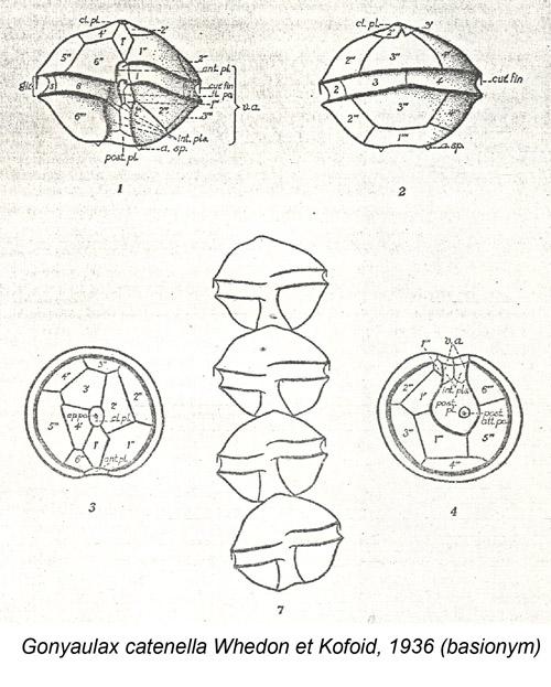 Gonyaulax catenella Whedon et Kofoid, 1936 (basionym)