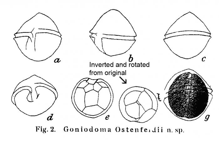 Goniodoma ostenfeldii Paulsen 1904
