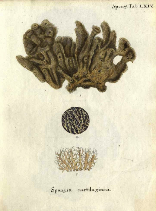 Spongia cartilaginea Esper, 1797