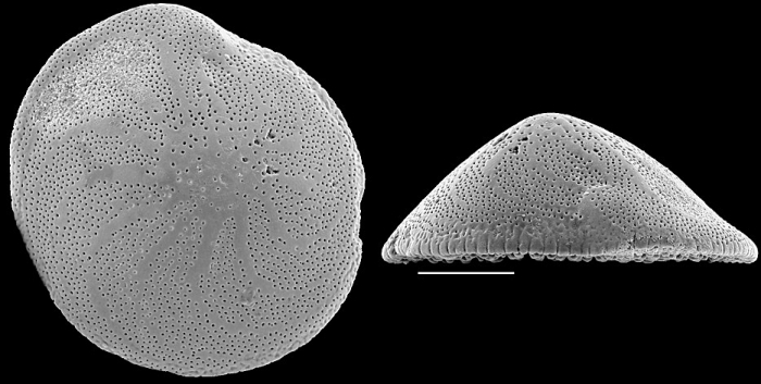 Pileolina radiata NZ