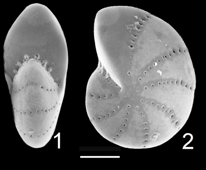 Elphidium albanii Queensland Australia holotype