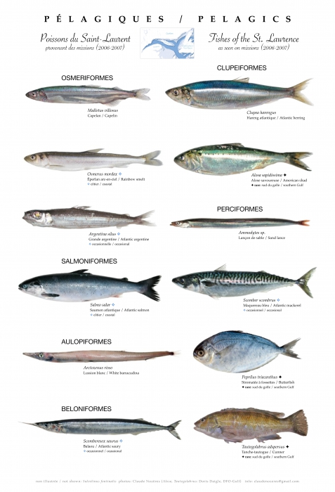 Pelagic fishes of the St. Lawrence