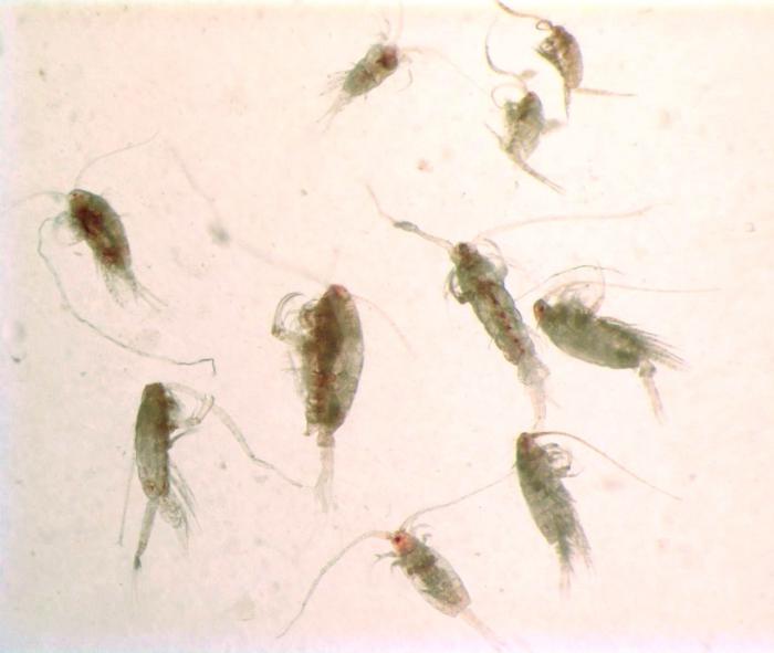 Calanoida copepods
