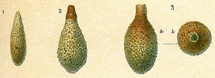Lagenammina difflugiformis