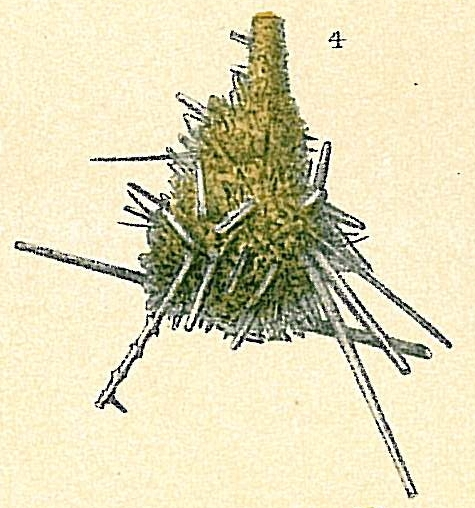 Lagenammina spiculata