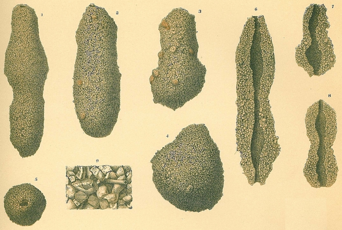 Astrorhiza crassatina