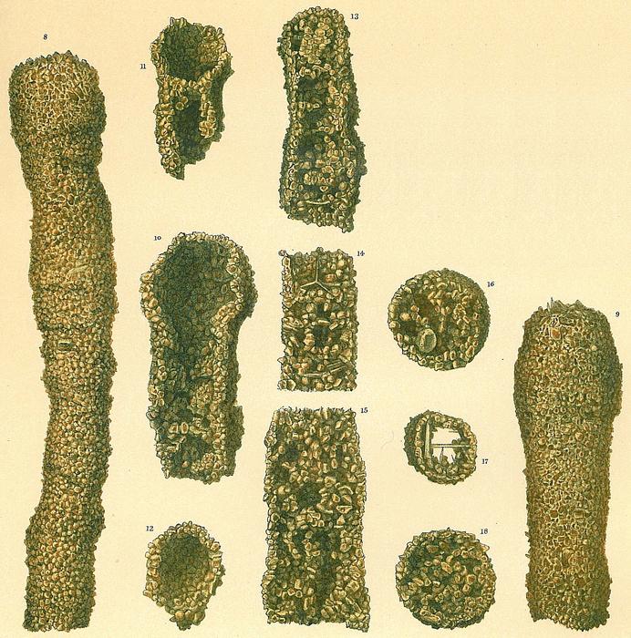 Botellina labyrinthica