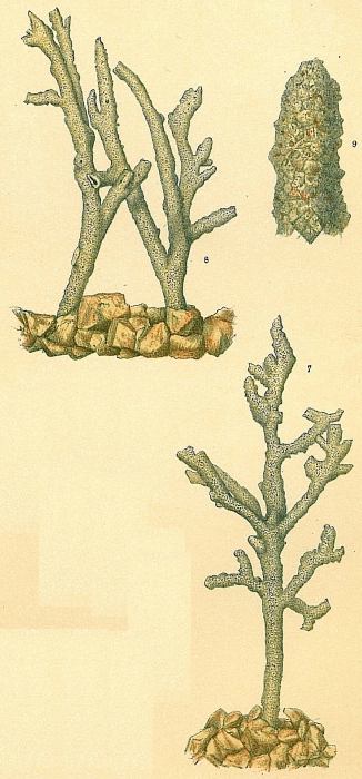 Dendrophrya erecta