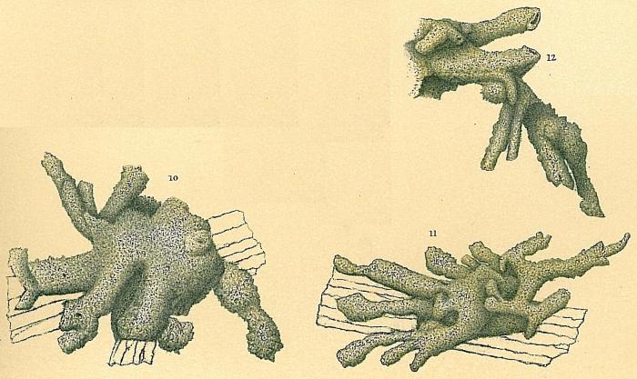 Dendrophrya radiata