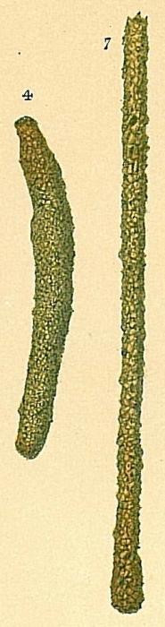 Hyperammina cylindrica