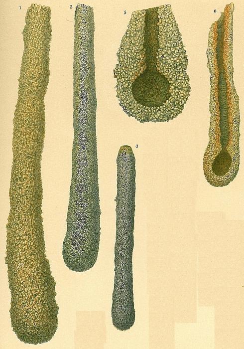 Hyperammina friabilis