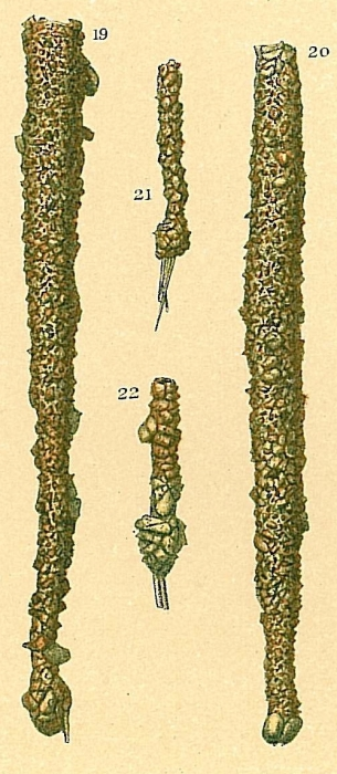 Jaculella obtusa