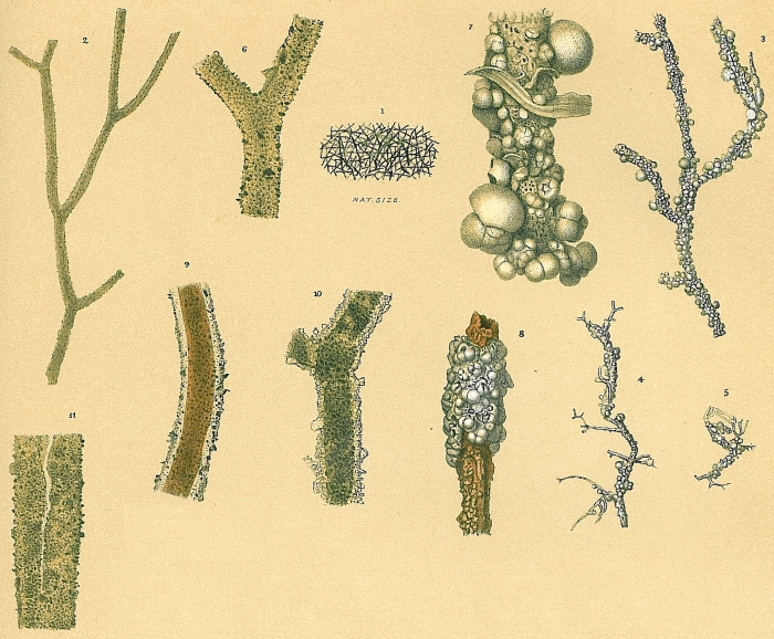 Rhizammina algaeformis