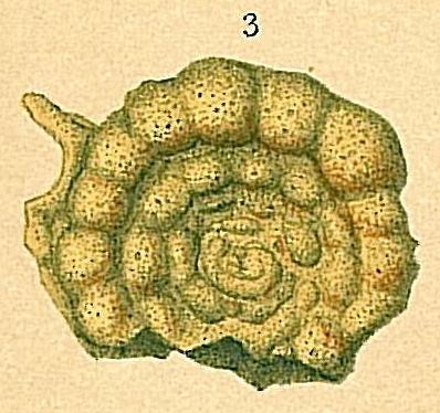 Trochamminoides grzybowskii