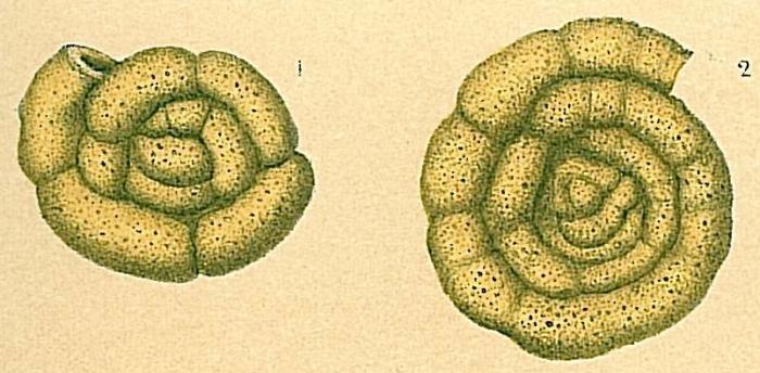 Trochamminoides olszewskii