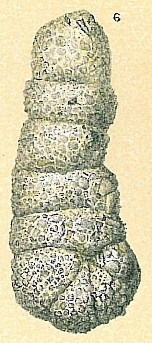 Ammobaculites cylindricus