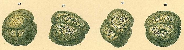 Adercotryma glomeratum