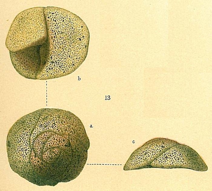 Tritaxis fusca