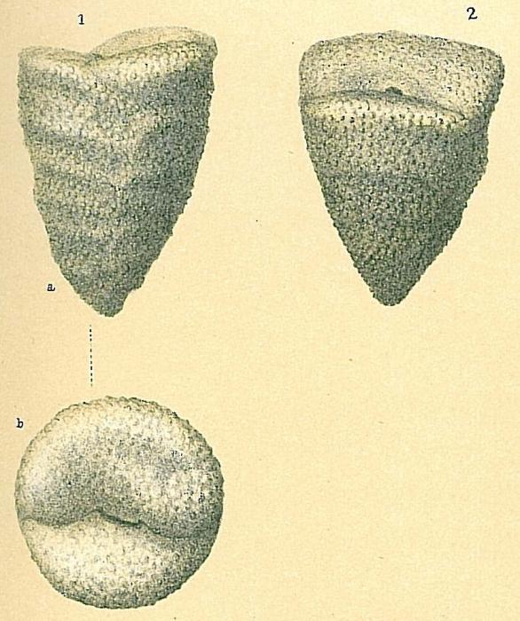 Dorothia goesi