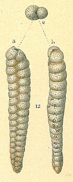 Dorothia pseudofiliformis