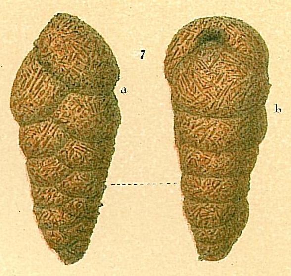 Dorothia scabra