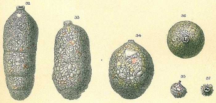Cylindroclavulina bradyi