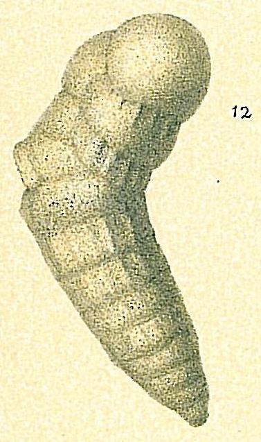 Cribrogoesella bradyi