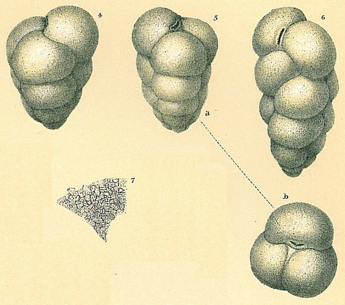 Eggerella bradyi