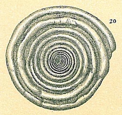 Cornuspira crassisepta