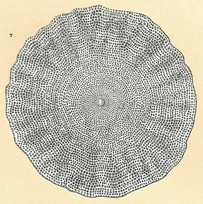 Amphisorus hemprichii
