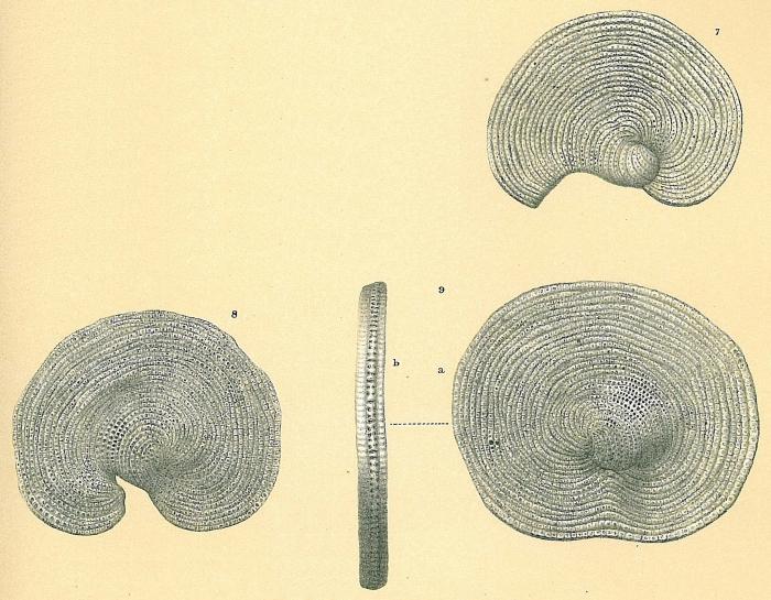 Cyclorbiculina compressa