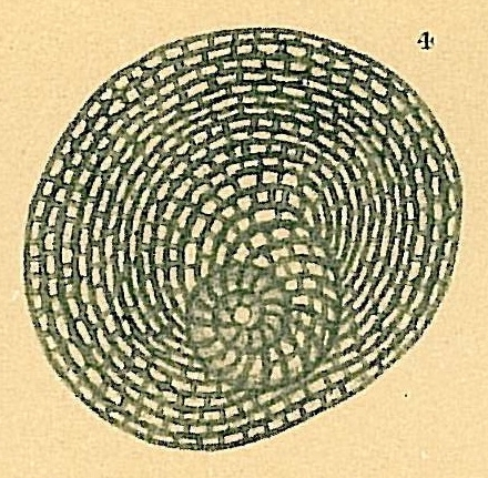 Parasorites orbitolitoides