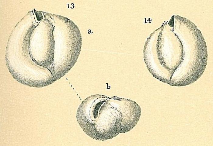 Miliolinella subrotunda